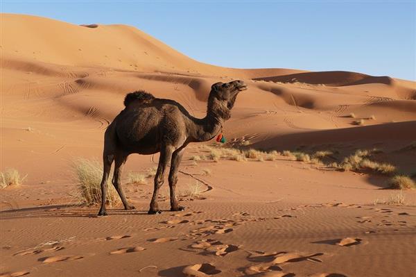 澳大利亚山火燃烧4个月未扑灭:当地政府射杀1万头骆驼 因喝太多水