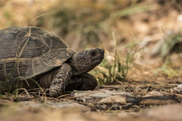 研究表明:某种巨龟体重达上吨 体型堪比汽车