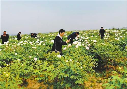 河北邯郸峰峰矿区发展鲜花经济 扩大谷驼村及谷驼小米知名度等'隐形'收益