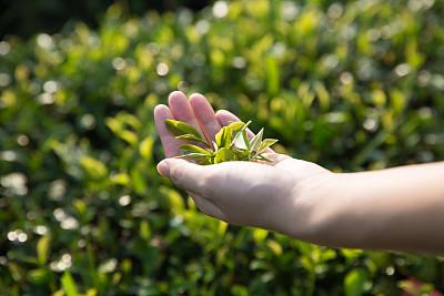 茶原为中国南方的嘉木 农业文化遗产视角下的茶文化