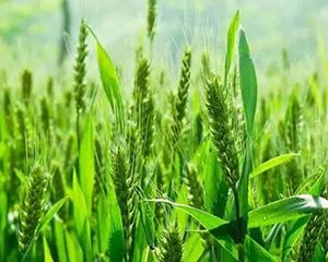 全国大规模小麦机收基本结束 为全年粮食丰收赢得主动