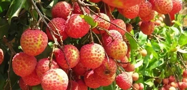荔枝也是养生好果 它可促进微细血管的血液循环