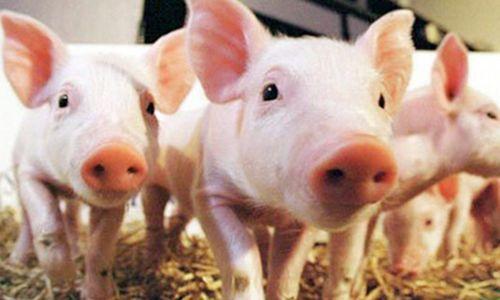 生猪生产持续加快恢复 进度好于预期 推高了局部地区猪肉价格